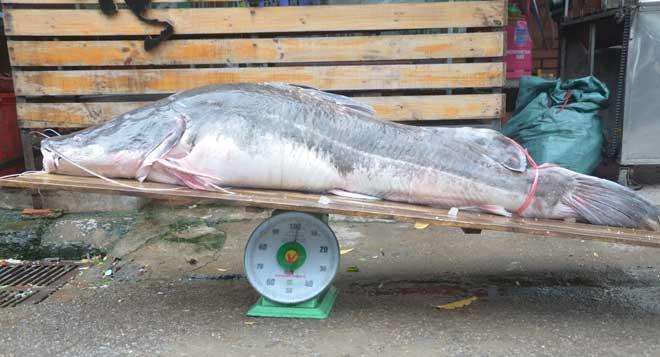 Cá lăng khổng lồ