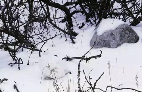 Bạn có nhìn thấy chú chim đang ở giữa những cành cây khô và tuyết