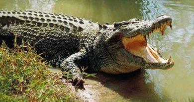 Giải mã giấc mơ thấy cá sấu – nằm mộng thấy cá sấu đánh xổ số con gì chắc ăn