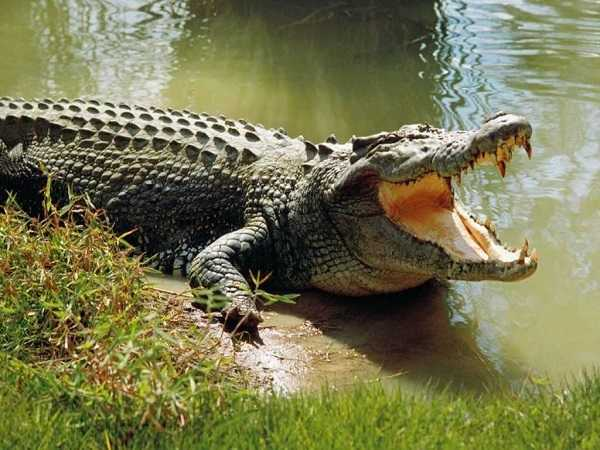Giải mã giấc mơ thấy cá sấu