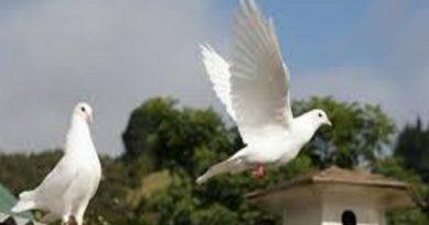 Chim bồ câu bay vào nhà là điềm gì?