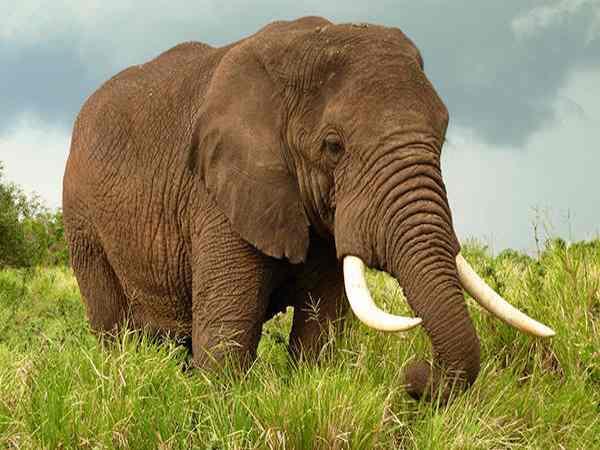 Mơ thấy con voi là điềm báo lành hay dữ?