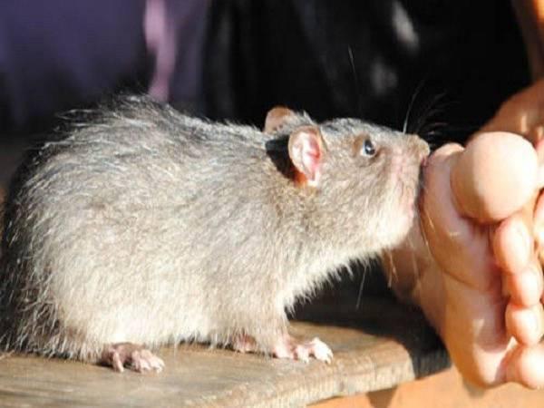 Chuột cắn là điềm gì và nên đánh đề số mấy